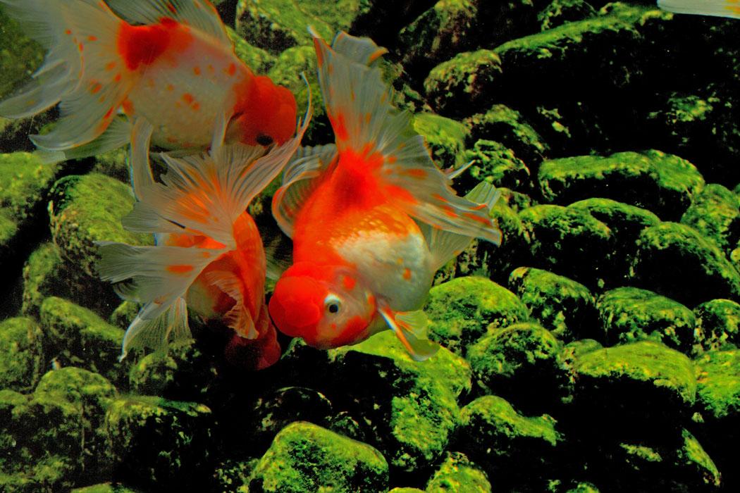 壁纸 动物 水草 水生植物 鱼 鱼类 1050_700